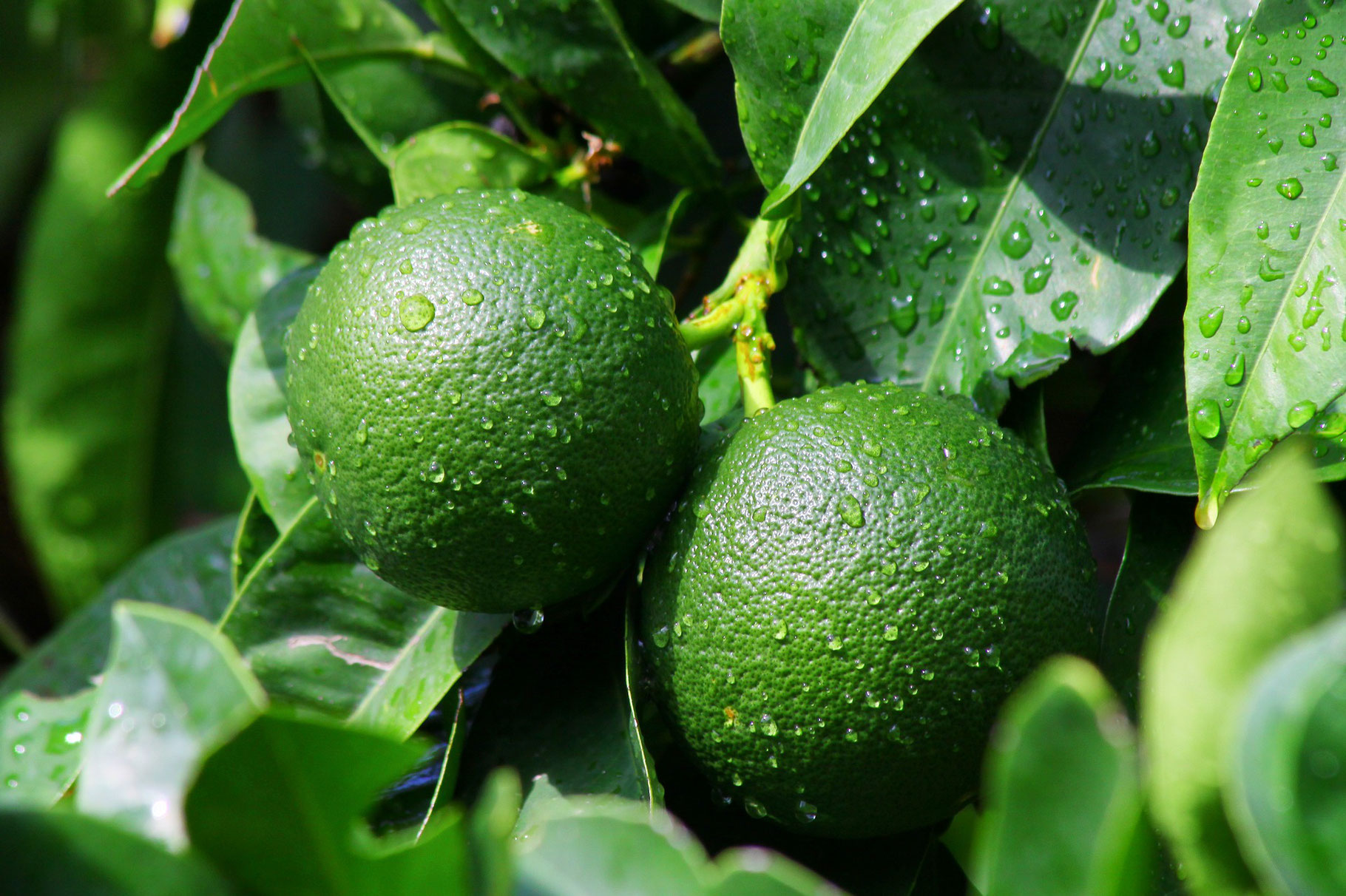 olio-essenziale-di-mandarino-verde
